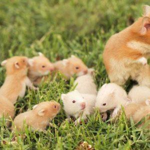 chuot-hamster-3