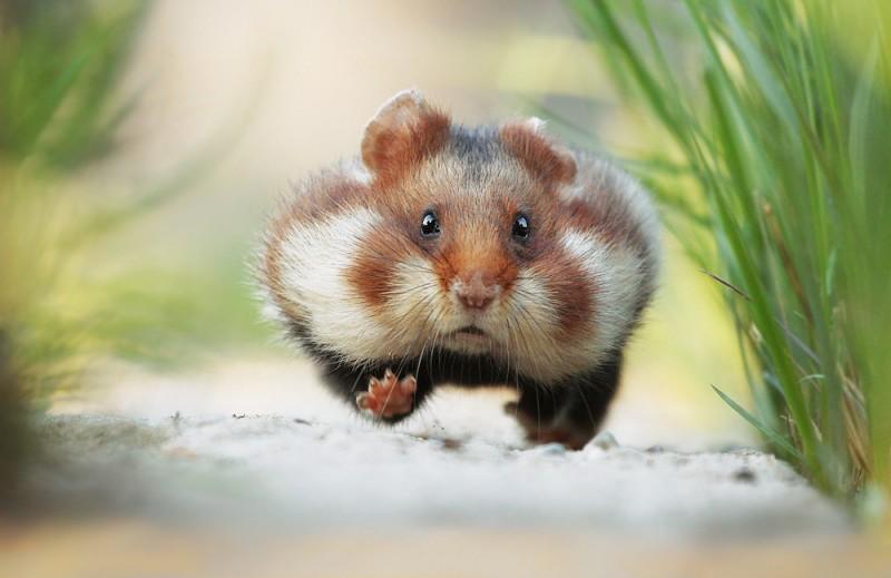 Chuột Hamster. Đặc điểm các loài chuột Hamster ở Việt Nam