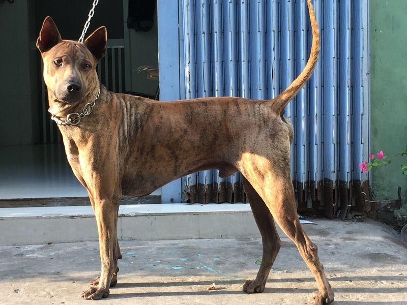 Giá chó Phú Quốc thuần chủng. Mua chó Phú Quốc giá bao nhiêu?