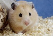 Giá chuột Hamster