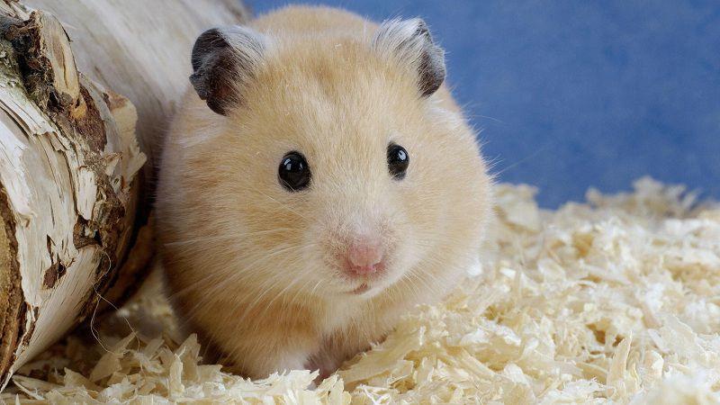 Giá chuột Hamster. Chuột Hamster giá bao nhiêu ở Việt Nam?