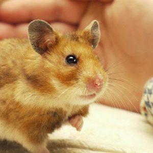 mua-ban-chuot-hamster-2