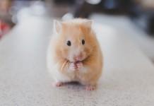Mua chuột Hamstere. Bán chuột Hamster giá rẻ ở Hà Nội & TPHCM