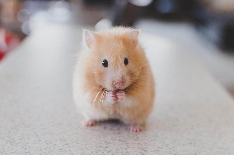 Mua chuột Hamster. Bán chuột Hamster giá rẻ ở Hà Nội & TPHCM