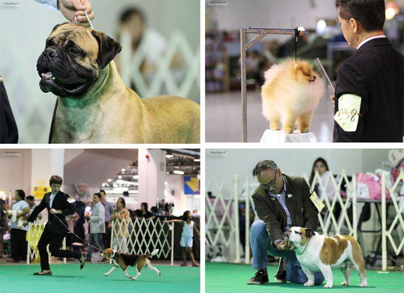 Chó cảnh nhập Thái. Chất lượng của các giống chó nhập từ Thái Lan