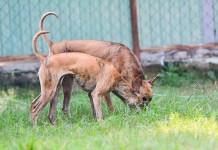 Chó Phú Quốc ăn gì? Cách nuôi chó Phú Quốc chi tiết