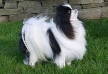 Chó Nhật - Japanese Chin. Đặc điểm, tính cách & cách nuôi chó Nhật xù