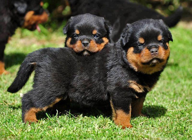 Mua chó Rottweiler giá bao nhiêu? Giá bán chó Rottweiler Thuần Chủng