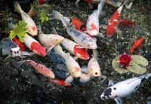 Cá Koi hay Cá chép Koi Nhật Bản. Tiêu chuẩn cá koi chuẩn đẹp