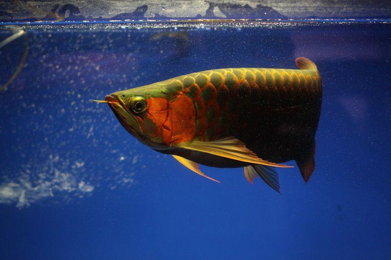 Giá Cá Rồng Highback, Cá Rồng Hồng Long và Cá Rồng Thanh Long