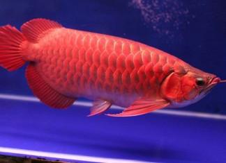 Cá huyết rồng giá bao nhiêu? Địa chỉ mua bán cá rồng huyết long ở HN & TPHCM