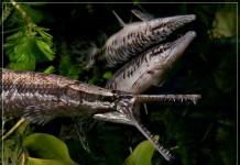 Cá sấu hỏa tiễn giá bao nhiêu? Địa chỉ bán cá sấu hỏa tiễn