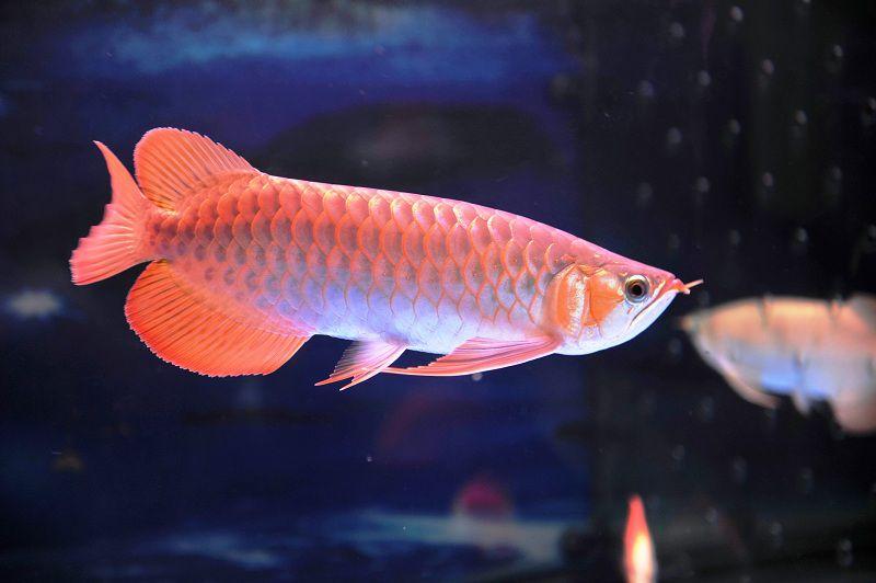 Cá Rồng   Các loại cá rồng đẹp. Cách nuôi cá rồng phong thủy