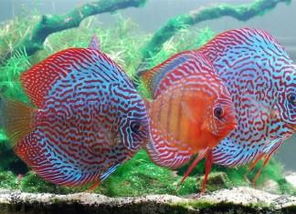 Cách nuôi cá dĩa đẹp. Nên cho cá dĩa ăn gì theo từng giai đoạn?