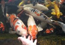 Các nuôi cá Koi Nhật Bản. Thức ăn cho cá Koi theo từng giai đoạn