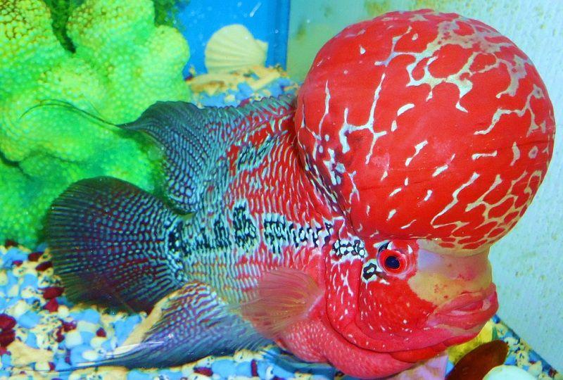 Các loại cá La Hán. Cách nuôi cá La Hán nhanh lớn & lên đầu đẹp