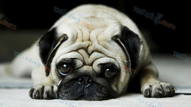 Cách Nuôi Chó Pug. Kinh Nghiệm Chăm Sóc Chó Pug từ 2 Tháng Tuổi