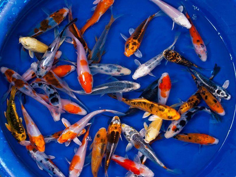 Giá cá Koi. Cá chép Koi giá bao nhiêu? Mua bán cá Koi HN & TPHCM