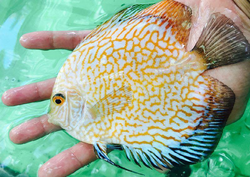 Mua bán cá dĩa ở Hà Nội và TPHCM. Giá cá dĩa các dòng hiện nay