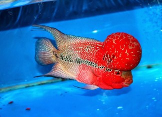 Giá cá La Hán các loại. Mua bán cá La Hán ở Hà Nội và TPHCM
