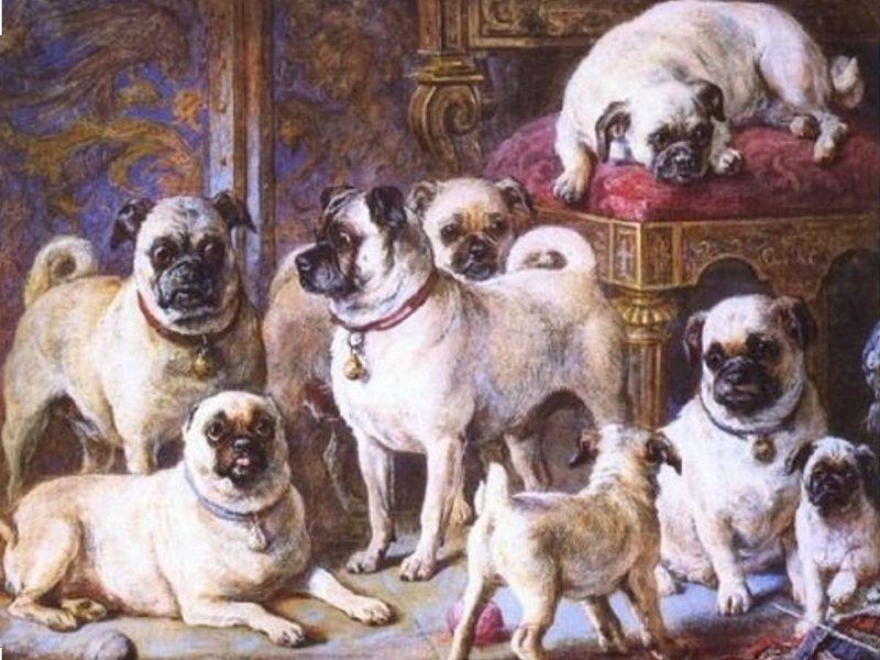 Đặc điểm, tính cách chó Pug mặt xệ. Nguồn gốc, lịch sử giống chó Pug