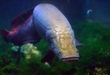 Kỹ thuật nuôi cá hải tượng. Nên cho cá hải tượng ăn gì?