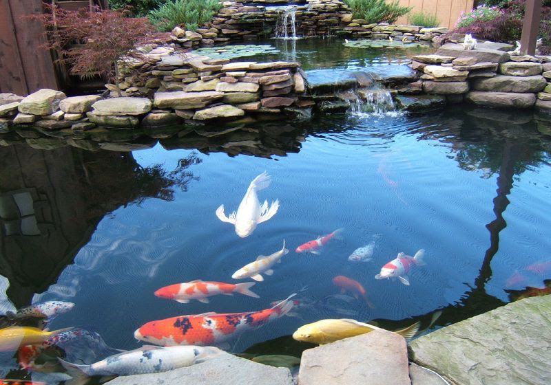 Cách thiết kế hồ cá Koi. Thi công hồ cá Koi đẹp theo chuẩn Nhật Bản