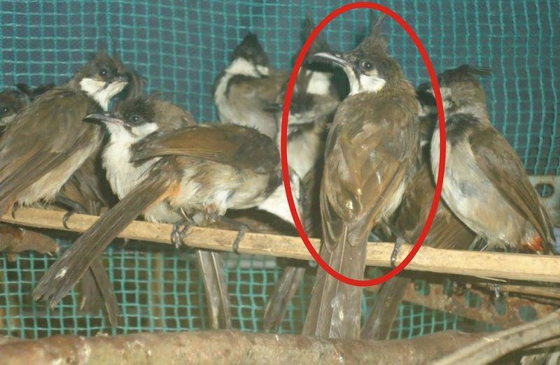 Cách nuôi chim chào mào siêng hót. Cách chọn chào mào bổi hay