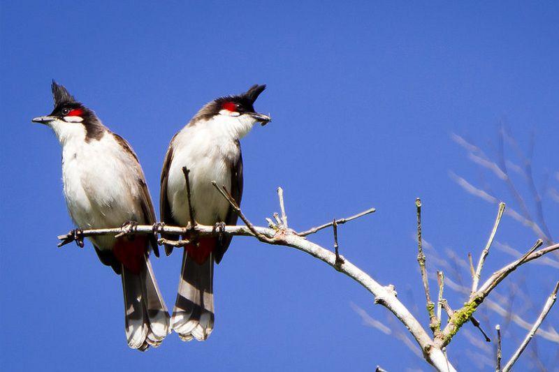 Tiêu chuẩn chim chào mào đẹp. Phân biệt chim chào mào trống mái