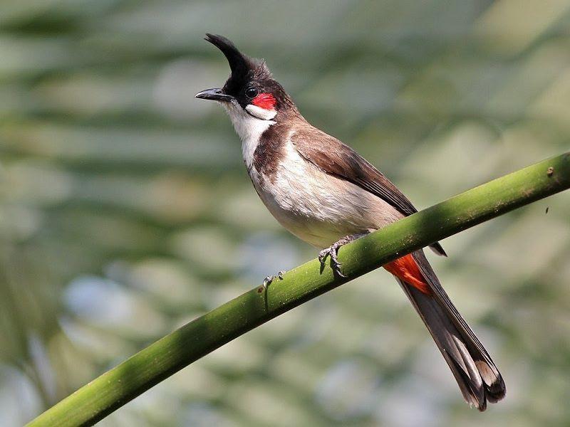 Giá chim chào mào. Địa chỉ mua bán chim chào mào ở Hà Nội & TPHCM