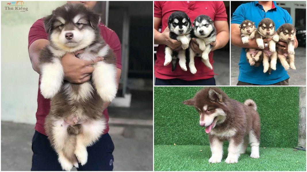 Chó Alaskan Malamute: Nguồn Gốc, Đặc Điểm. Giá Chó Alaska tại Việt Nam