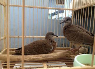 Phân biệt cu gáy mái & trống. Kỹ thuật nuôi chim cu gáy sinh sản