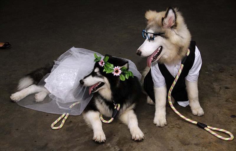 Giá Phối Giống Chó Alaska Thuần Chủng tại Hà Nội và TPHCM