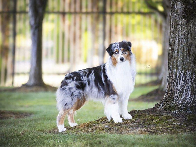 Chó chăn cừu Úc. Giá mua bán chó Australian Shepherd ở Việt Nam