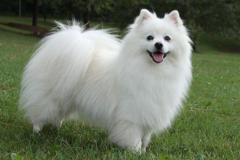 Giá mua bán chó Eskimo ở Việt Nam. Đặc điểm chó American Eskimo