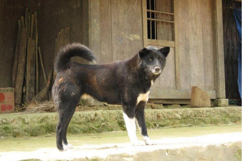 Chó Bắc Hà - Tìm hiểu nguồn gốc, đặc điểm và giá mua bán chó Bắc Hà