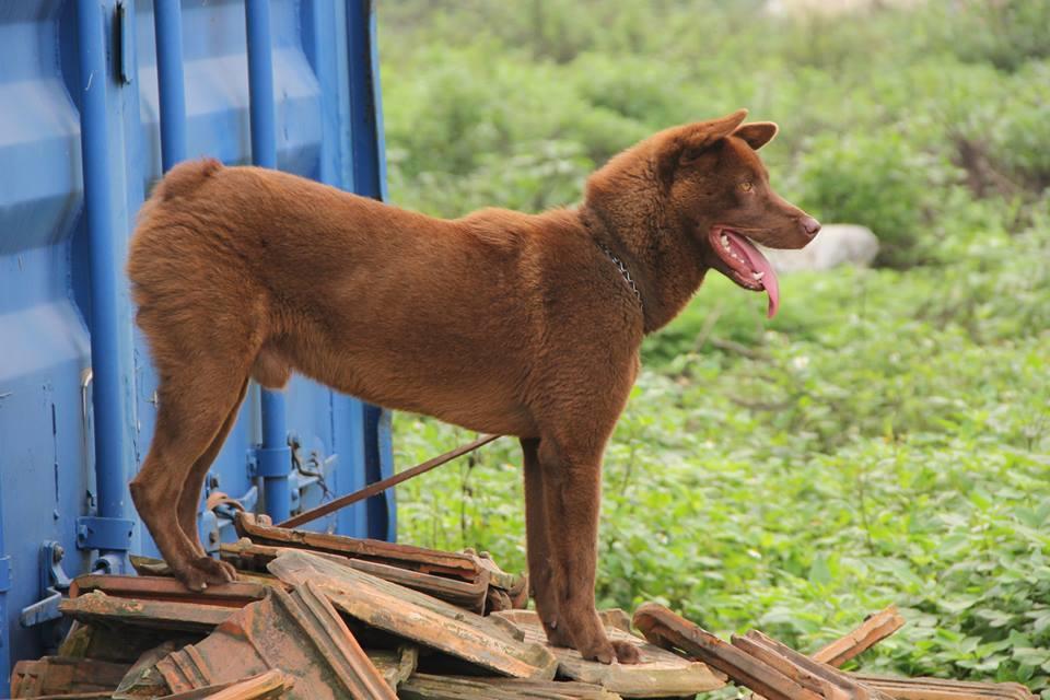 Chó H'Mông Cộc Đuôi. Giá mua bán chó H'Mông Cộc thuần chủng