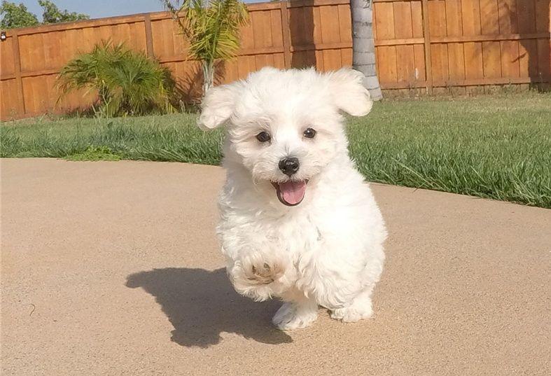 Chó Maltipoo - chó Maltese lai Poodle. Giá mua bán chó Maltipoo