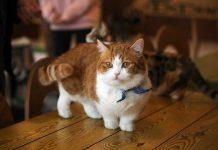 Giá mèo Munchkin thuần chủng. Mua bán mèo Munchkin ở Việt Nam