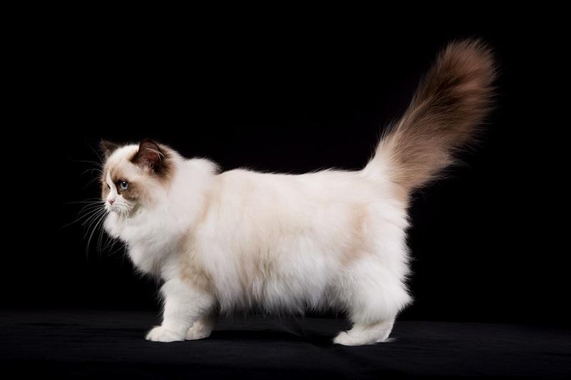 Giá mua bán mèo Ragdoll ở VN. Đặc điểm mèo Ragdoll thuần chủng