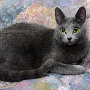 Cat breed Russian Blue with fabulous ears and blueish fur.