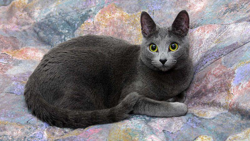 Mèo Nga | Mèo Russian Blue. Giá mua bán mèo Nga Mắt Xanh ở VN