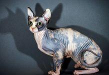 Giá mèo không lông Sphynx. Mua bán mèo Sphynx thuần chủng ở Việt Nam