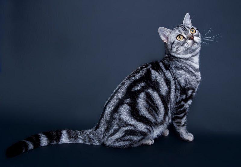 Giá mua bán Mèo Mỹ Lông Ngắn - Amerian Shorthair - ở Việt Nam
