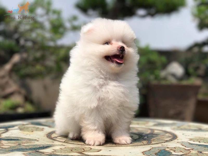 Giống chó Phốc Sóc: Đặc điểm chó Phốc Sóc | Mua bán chó Phốc Sóc
