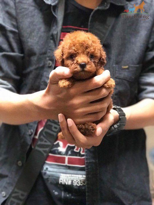 Bán chó Poodle Tiny nâu đỏ tháng 1-2018 - Trả Góp Lãi Suất 0%