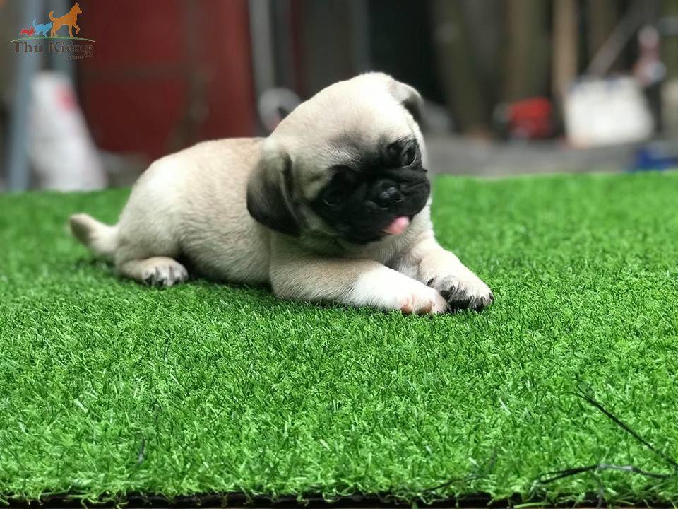 Bán chó Pug mặt xệ tháng 1-2018. Trả Góp Lãi Suất 0%. BH 15 ngày