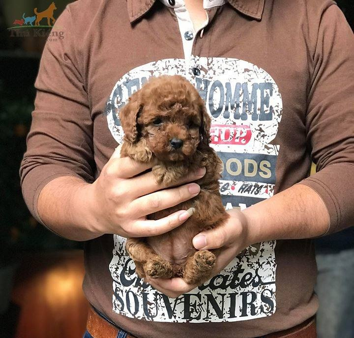 Bán chó Poodle Tiny 3-2018. Trả góp lãi suất 0%. BH 15 ngày