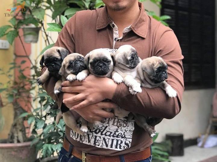 Bán chó Pug mặt xệ tháng 3/2018. Trả góp lãi suất 0%. BH 15 ngày