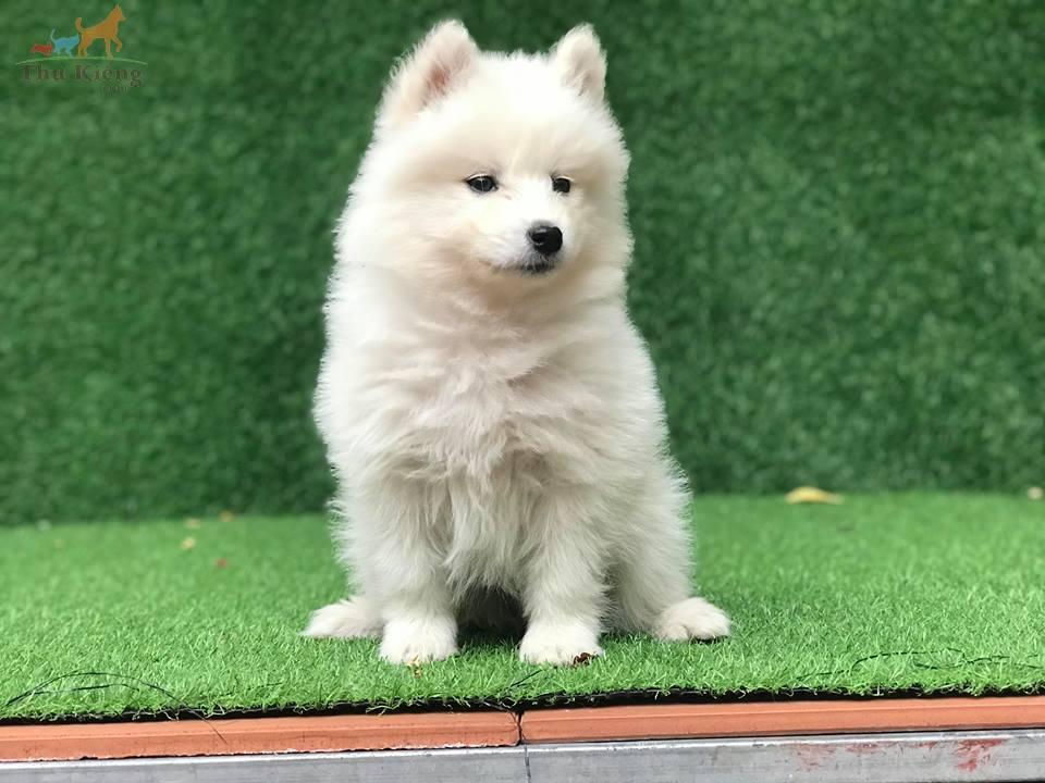 Bán chó Samoyed tháng 3-2018. Trả góp lãi suất 0%. BH 15 ngày